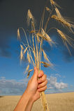 Wheat in the hands royalty free stock photo
