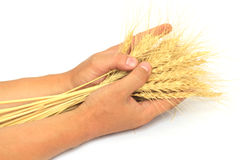 Wheat in the hands of Royalty Free Stock Photo