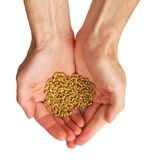 Wheat in the hands. The hands and wheat isolated on a white background stock photography