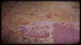 Wheat in the hands of a farmer. Man checks the harvest. Working hands, rough skin. Hard work of a farmer. Archival video, vintage, retro. Vintage frames stock video footage