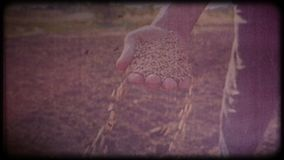 Wheat in the hands of a farmer. Man checks the harvest. Working hands, rough skin. Hard work of a farmer. Archival video, vintage, retro. Vintage frames stock footage