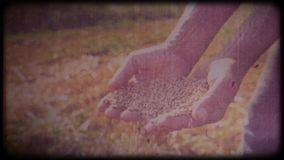 Wheat in the hands of a farmer. Man checks the harvest. Working hands, rough skin. Hard work of a farmer. Archival video, vintage, retro. Vintage frames stock video