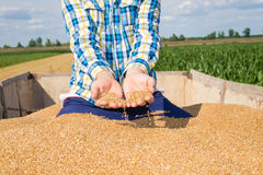 Wheat in the hands of farmers. Wheat in the hands of young farmers Stock Image