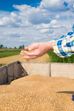 Wheat in the hands of farmers. Wheat in the hands of young farmers Royalty Free Stock Photo