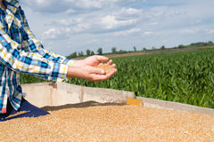 Wheat in the hands of farmers. Wheat in the hands of young farmers Royalty Free Stock Photography