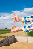 Wheat in the hands of farmers. Wheat in the hands of young farmers Royalty Free Stock Images
