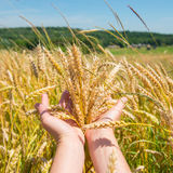 Wheat in the hands Stock Photo