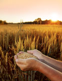 Wheat in the hands of men on the background field Royalty Free Stock Images