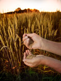 Wheat in the hands of men on the background field Stock Photography