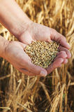 Wheat in hands Stock Images