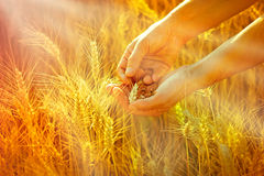 Wheat in hands of woman Royalty Free Stock Photography