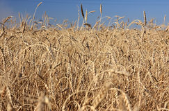 Wheat of hard sorts. Royalty Free Stock Photo
