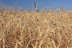 Wheat of hard sorts. Royalty Free Stock Photo