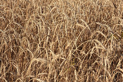 Wheat of hard sorts. Stock Photo