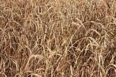 Wheat of hard sorts. Stock Photo