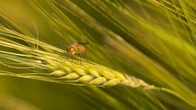 Wheat with harmful fly Royalty Free Stock Photography