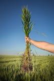 Wheat.Harvest概念 库存图片