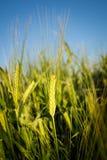 Wheat.Harvest概念 免版税库存照片