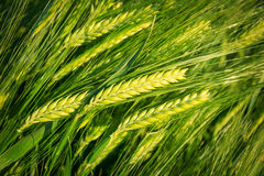Wheat.Harvest概念 库存照片