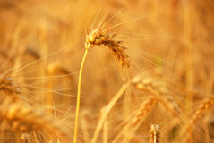 Wheat before harvest Stock Image