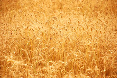 Wheat before harvest Royalty Free Stock Photos