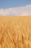 Wheat before harvest. Wheat on the blue sky background Stock Photography