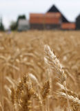 Wheat before harvest royalty free stock image