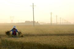 Wheat harvest royalty free stock photos