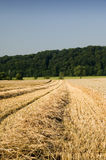Wheat harvest. Partly harvested wheat field with rows of piled up straw stock photo