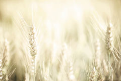 Wheat harvest. A golden field of wheat, shallow depth of field Royalty Free Stock Photos