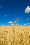 Wheat harvest Royalty Free Stock Photography