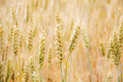 wheat Harvest Royalty Free Stock Image
