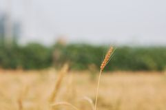 Wheat harvest 6 Royalty Free Stock Images