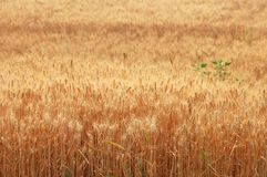 Wheat harvest  8 Royalty Free Stock Image