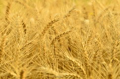 The wheat harvest Royalty Free Stock Images