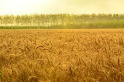 The wheat harvest Royalty Free Stock Photography