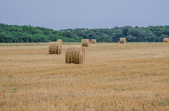 Wheat harvest. In autumn light Royalty Free Stock Photography