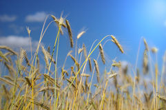 Wheat before harvest Stock Photography