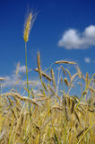 Wheat before harvest Royalty Free Stock Images
