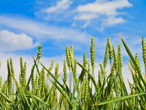Wheat harvest on blue sky Stock Photography