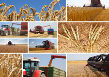 Wheat harvest - collage. Wheat harvest, combine and tractor in action, loading wheat stock photos