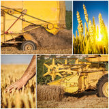 Wheat harvest collage. Wheat harvest with blue sky collage royalty free stock photos