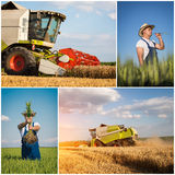 Wheat harvest - collage. On the blue sky stock photography