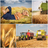Wheat harvest - collage. Golden wheat harvest picture- collage stock image