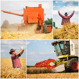 Wheat harvest - collage. Golden wheat harvest picture- collage stock photos