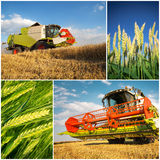 Wheat harvest - collage. Golden wheat harvest picture- collage royalty free stock images