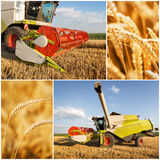 Wheat harvest - collage. Golden wheat harvest picture- collage stock photo