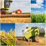 Wheat harvest - collage. Golden wheat harvest picture- collage royalty free stock photos