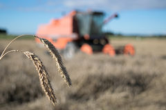 Wheat harvest with combine harvester in background Stock Image
