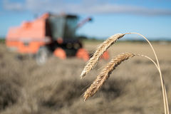 Wheat harvest with combine harvester in background Royalty Free Stock Photo